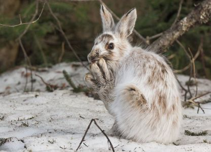 Snowshoe hare - Look at those shoes!