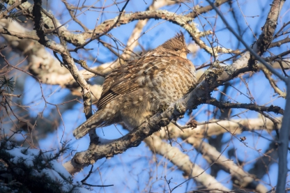 Ruffed Grouse all puffed up on a cold afternoon.