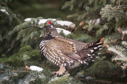 Spruce Grouse in January