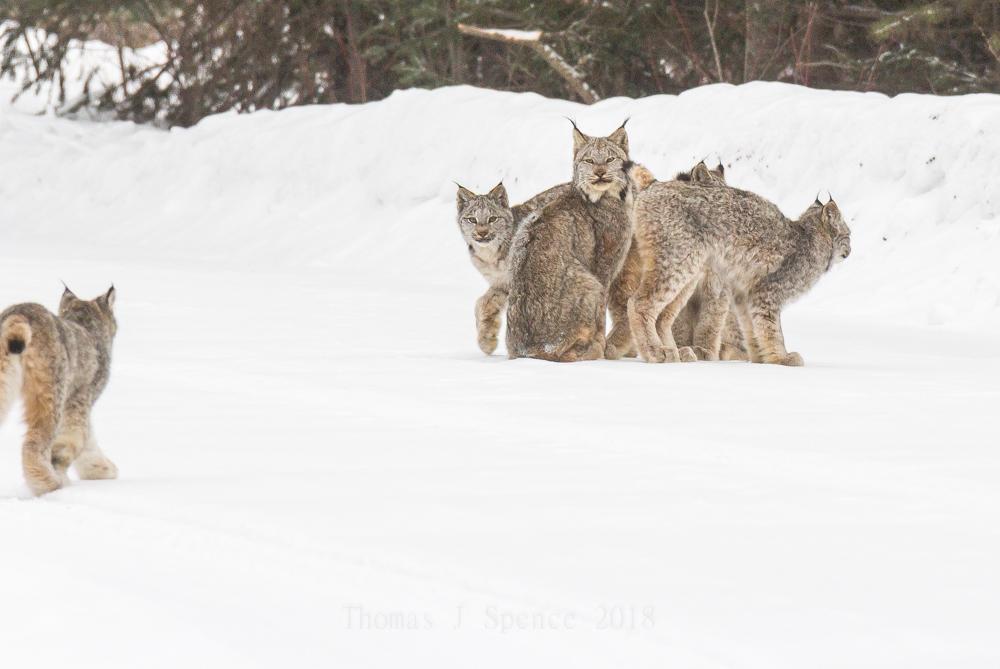 Canada Lynx in the Minnesota Woods – A RareSight