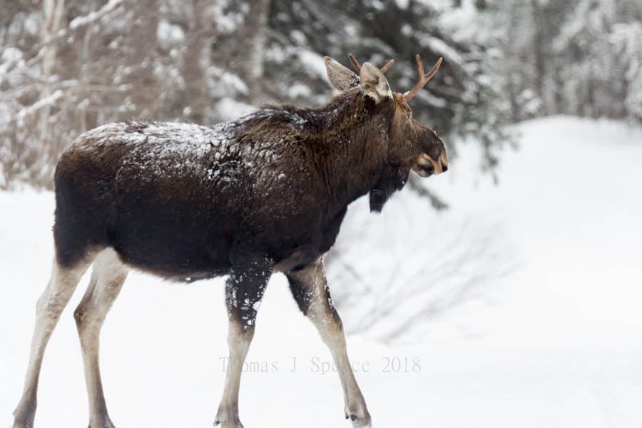 Moose – Thomas J  Spence Images