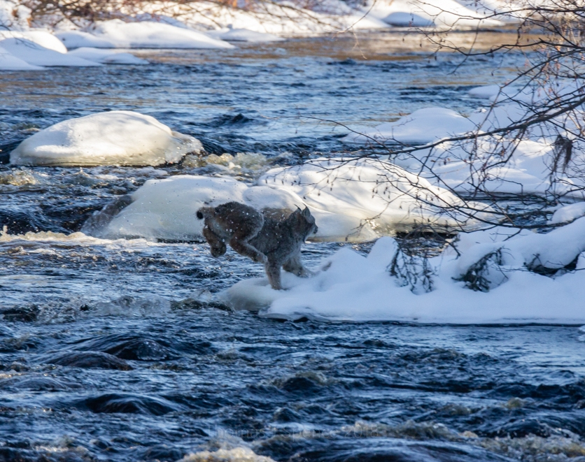 Final leap from a series of Canada lynx crossing a creek...